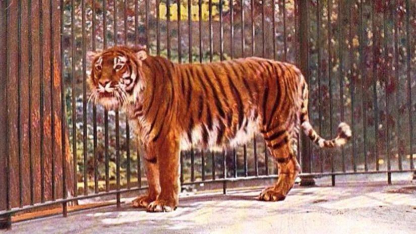 El tigre persa, el felino extinto que se apresta a volver a las estepas de Asia