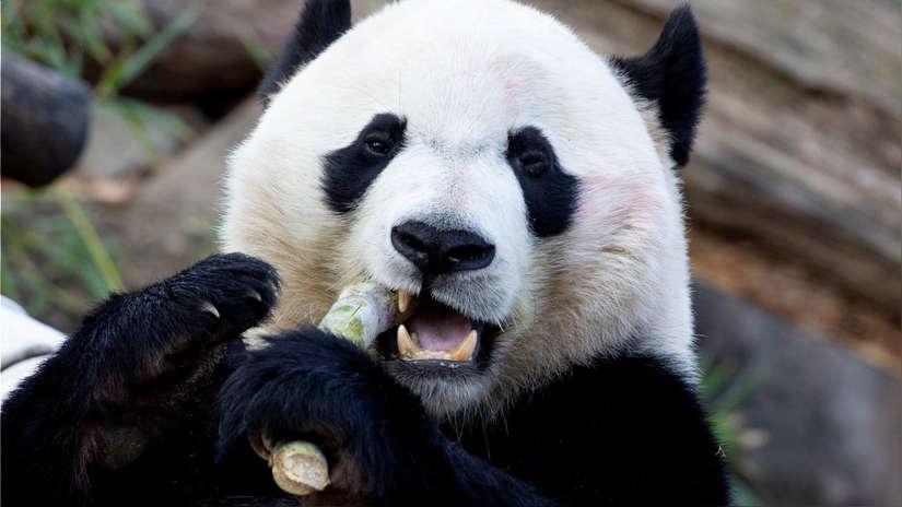 Adiós, Bei Bei: Estados Unidos despide a su amado panda gigante [FOTOS]