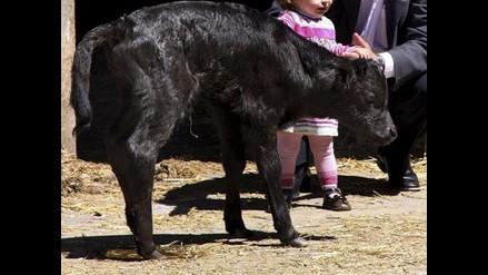 ´Got´, primer toro clonado posibilitará la creación de banco de tejidos