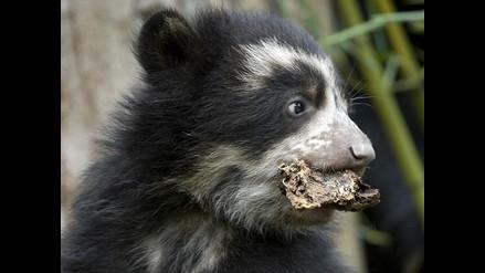 Osos de origen andino son presentados en zoológico de Washington