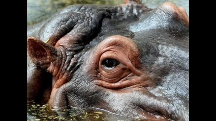 Treinta hipopótamos mueren tras brote de ántrax en reserva de Uganda
