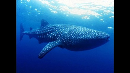 Denuncian ilegal venta de carne de ballena en restaurantes de Groenlandia