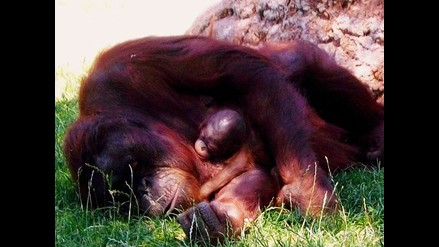 Histórico nacimiento de orangután de Borneo en cautiverio