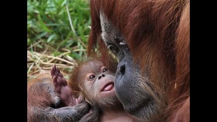 Toda la ternura de una mamá orangután