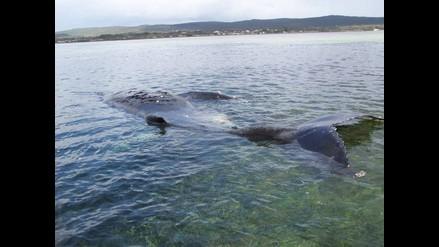 Rescatan a nueve ballenas de las 58 varadas en Nueva Zelanda