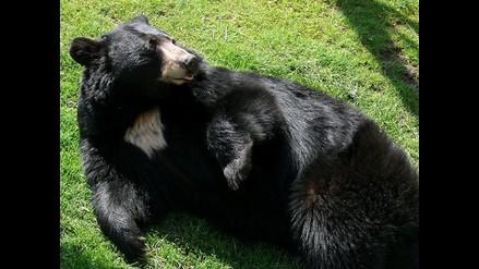 Roban marihuana que era protegida por diez osos