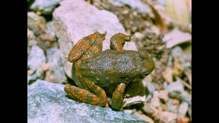 Las ranas, clave para combatir infecciones resistentes a antibióticos