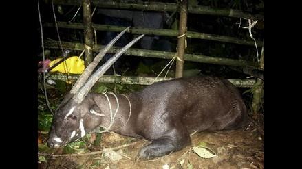 El más raro antílope del mundo capturado por cazadores en Laos
