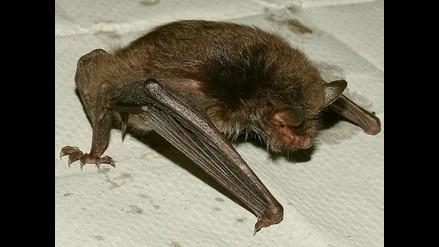 Más de 3 mil pobladores mordidos por murciélagos en Amazonas