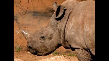 Cultivaba marihuana en corral de rinocerontes
