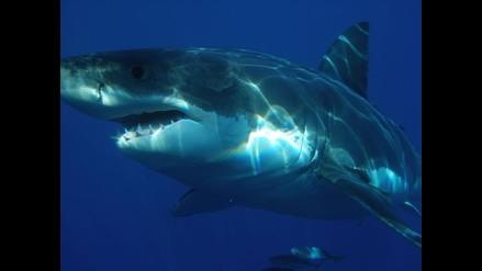 El gran tiburón blanco del Mediterráneo es originario de Australia