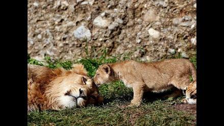 Cancelan venta de tacos de león africano en restaurante de EE.UU.