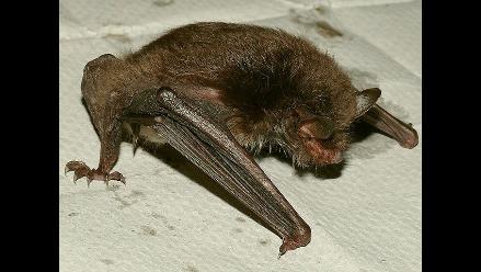 Inician campaña de captura y eliminación de murciélagos en Andahuaylas