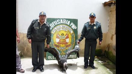 Cusco: Cóndor ´malagüero´ es rescatado por policía ecológica en Urubamba