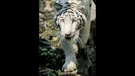 Tigresa De Bengala Blanca Es La Exótica Atracción De