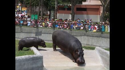Bautizan a dos pequeños hipopótamos del Parque de las Leyendas