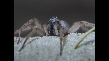 Conoce a la araña ´devora hembras´
