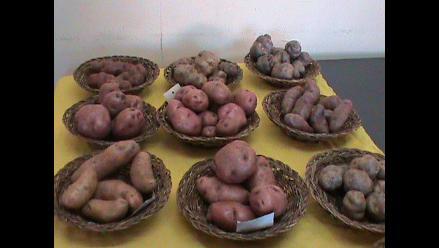 Cusco: Recuperan 84 variedades de papas nativas en Canchis