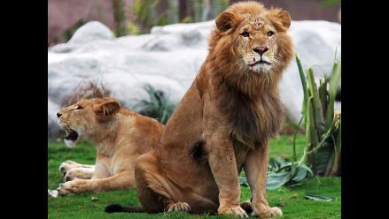 Ataques de leones a humanos se reducen cuando hay luna llena