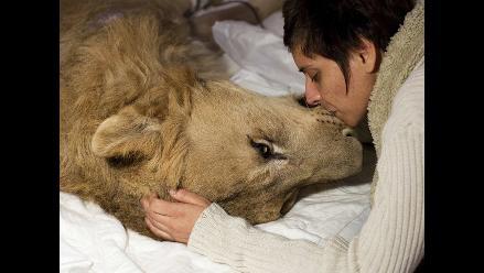 Brasil: Últimos momentos del león Ariel