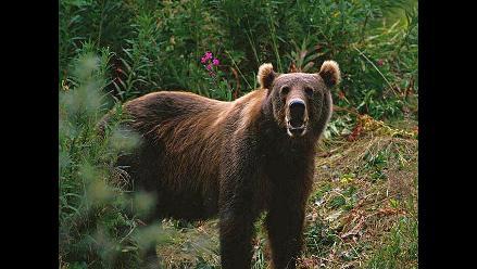 Usan bilis de oso para curar arritmias
