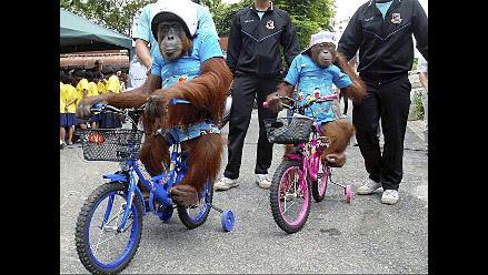 Orangutanes impulsan campaña de prevención de accidentes en Tailandia