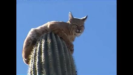 Gato montés escapa de león refugiándose en la cima de un cactus