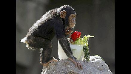 Chimpacés combaten ola de calor con comida congelada en Valencia