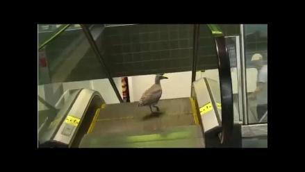 Mire cómo esta ave trata de bajar unas escaleras eléctricas