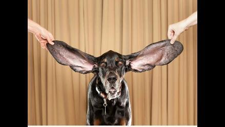Conozca al perro con las orejas más grandes en el mundo
