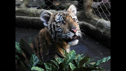 Cria de Tigre de Bengala llega a Zoológico Nacional de Nicaragua