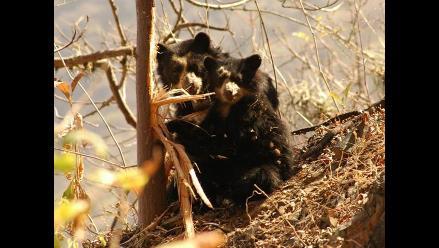 Hallan colonia de osos de anteojos en valle La Leche en Lambayeque