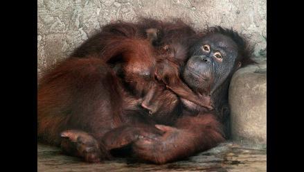 Orangutanes desarrollan culturas como humanos, según estudio