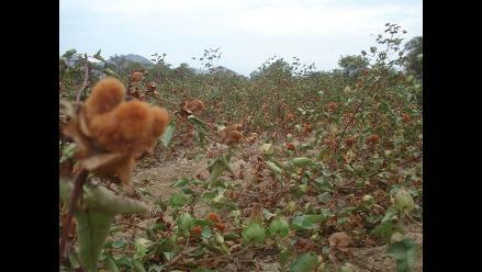 Se inició la campaña de algodón en Lambayeque
