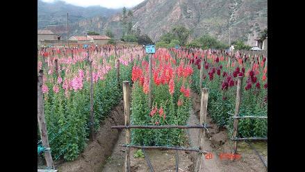 Áncash: En más de 100% se incrementó el costo de las flores en Caraz