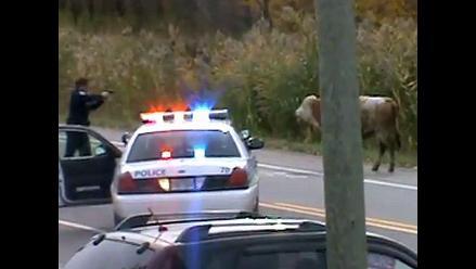 Polémica en Canadá por policía que le disparó a una vaca