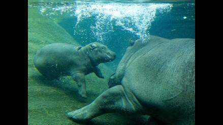 La ternura de una madre hipopótamo junto a su cría