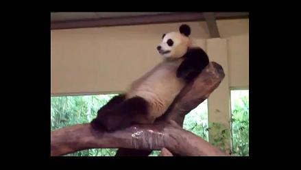 Panda sorprende en zoológico al miccionar encima de otro