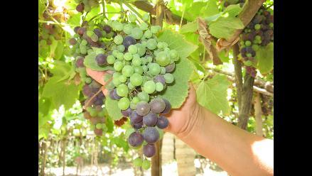Pequeños agricultores incrementarán en 200% rendimiento vitivinícola