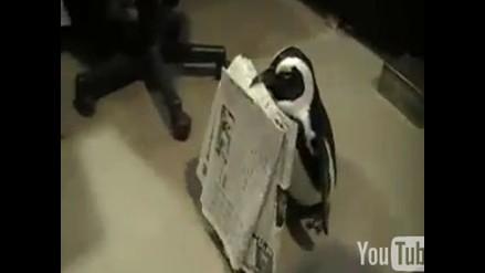 Insólito: Pingüino lleva el periódico a sus dueños