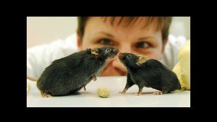 Buscan píldora contra la obesidad investigando a ratones obesos