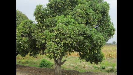 Lambayeque: Productores de mango con limitaciones para exportar