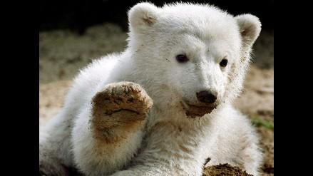 Crece el canibalismo en los osos polares por el cambio climático