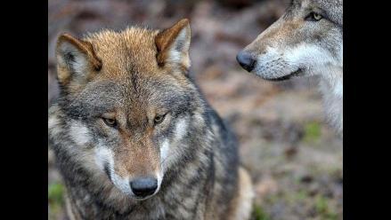 Gran manada de lobos en zoológico alemán