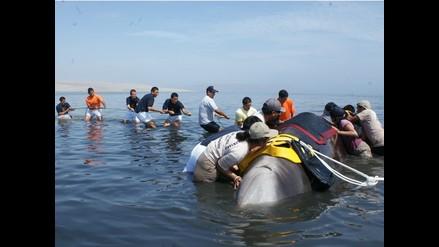 Guardaparques de la Reserva Nacional de Paracas rescatan cetáceo varado
