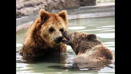 Osos Igor y Tania celebran San Valentín en el Parque de las Leyendas