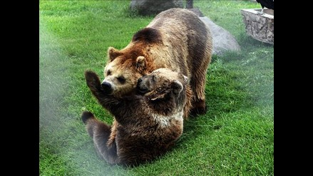 Presentan a osos como pareja símbolo del Parque de las Leyendas