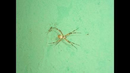 Apurímac: Aparición de rara especie de araña genera alarma en pobladores