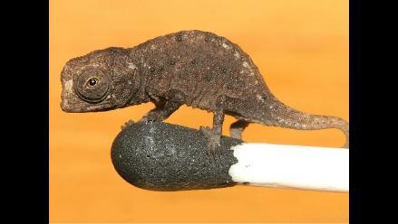 Hallan en Madagascar el camaleón más pequeño del mundo