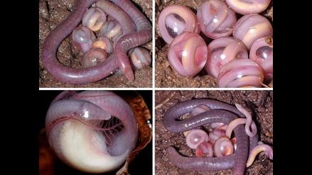 India: Científicos descubren nueva familia de anfibios sin patas